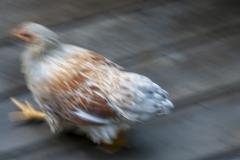 Kradel_Chicken_0890