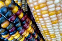 Kradel_Indian-Corn_4496