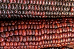 Kradel_Indian-Corn_4689