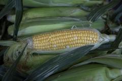 Kradel_Ear-Of-Corn_0206